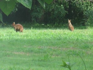 Wallabies grazing in the early morning