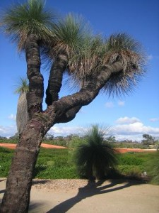 400 year old grass tree