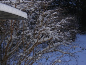Snow on the roof and the fuschia bush at my back door