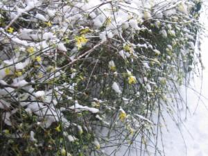 Jasmine in the snow at my front door